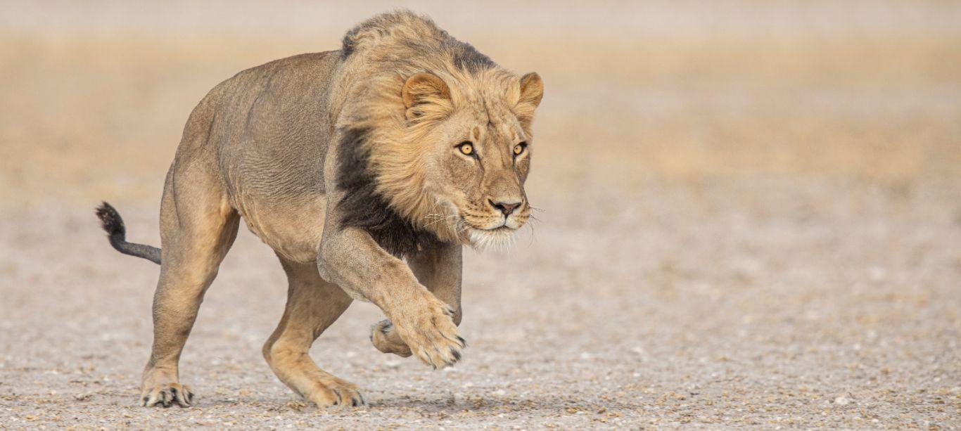 lion-notext