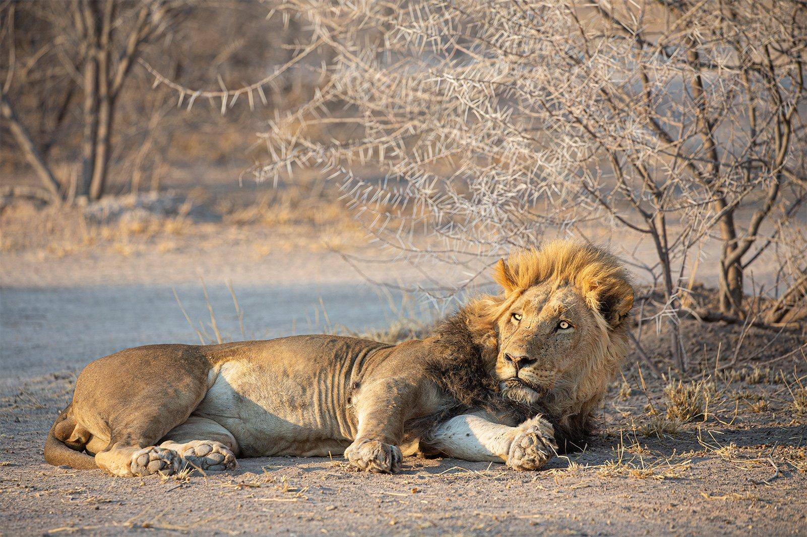 lion100
