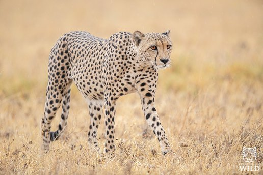Cheetah In Nxai Pans National Park