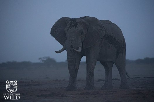 African Elephant At Dusk In Nxai Pans National Park