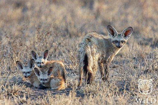 Bat Eared Foxes In Central Kalahari Game Reserve