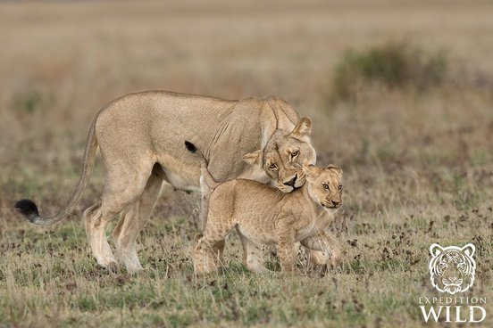 Lioness With Cub in Nxai Pans National Park