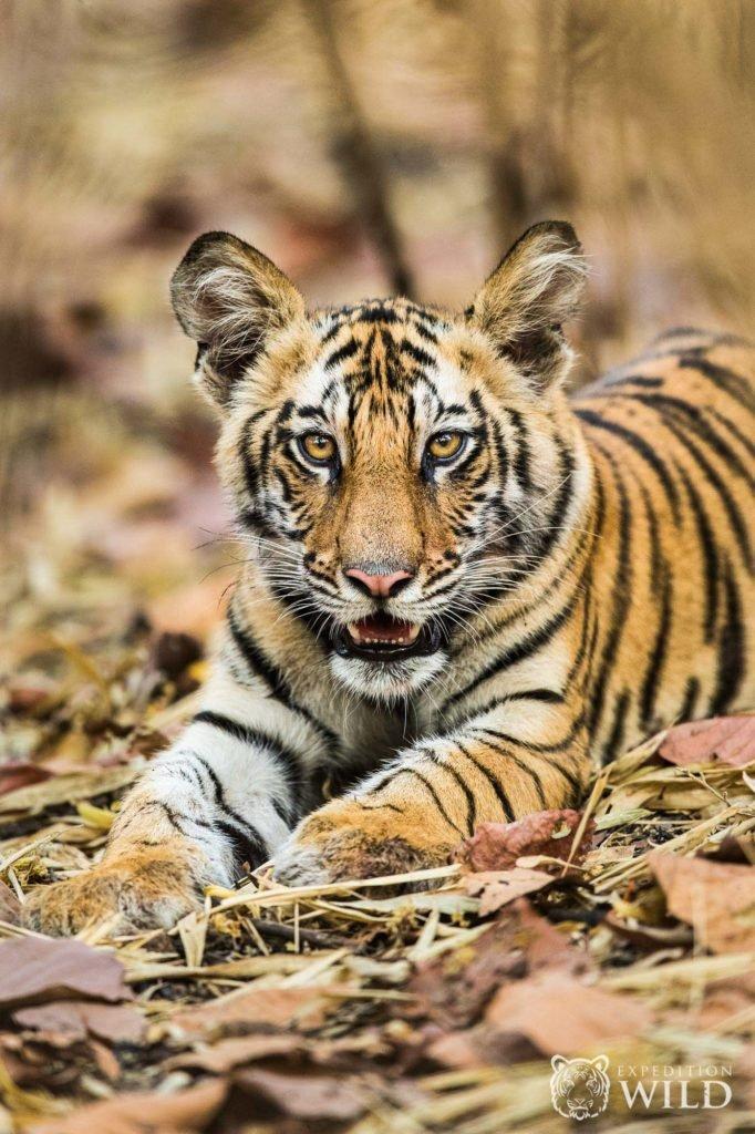 Tiger Cub In Bandhavgarh National Park