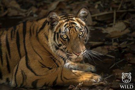 Tiger In Shade