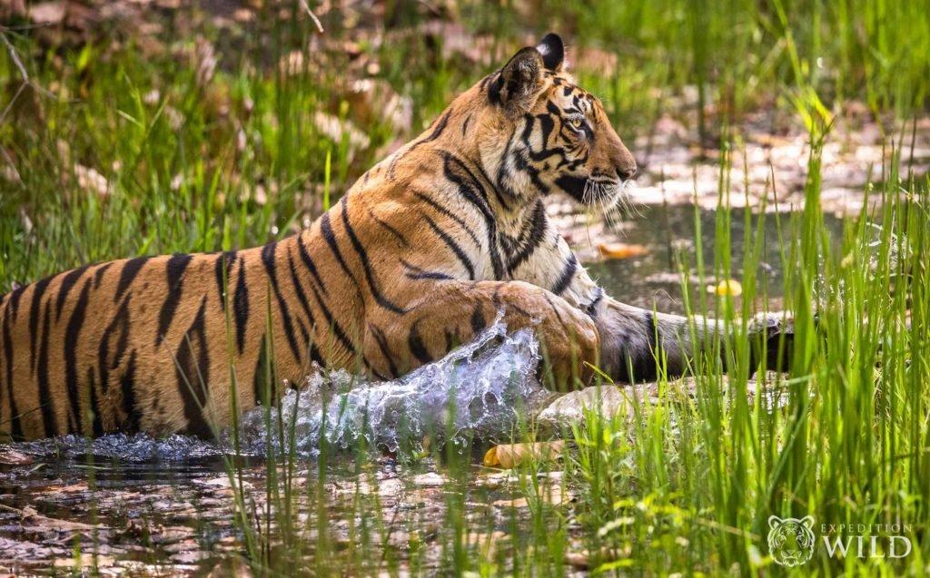 Tiger Jumping In Bandhavgarh National Park