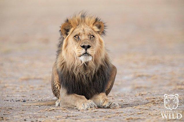 Lion In CKGR