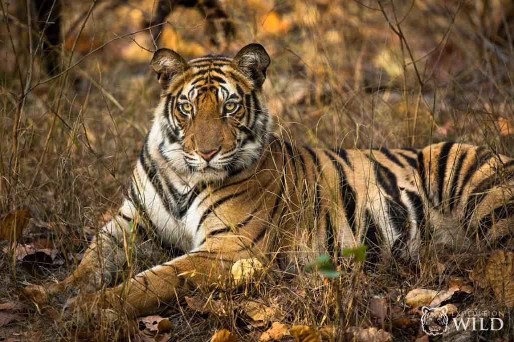 Bengal Tiger In Bandhavgarh National Park