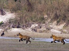Tigers of Bardia